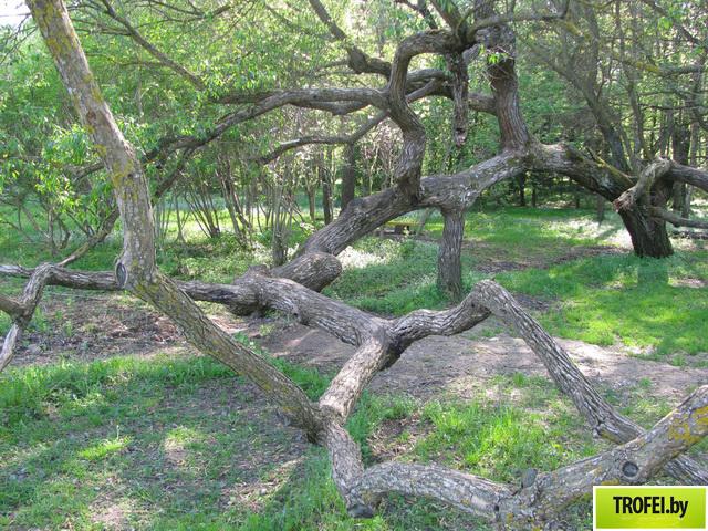 Необычное дерево, где фотографируются молодожены